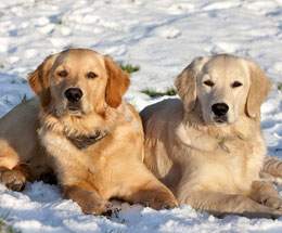 Retrievers-in-snow.jpg